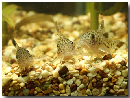 2006-Aquarium-PICT1640-leopard-corys-convention-small.JPG