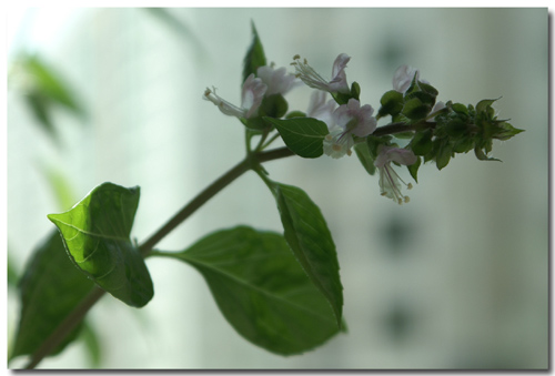 blog-2007-Rivervale-PICT3157-basil-flowers.JPG