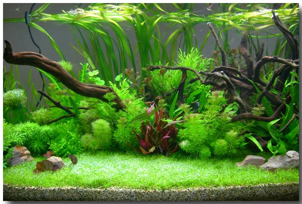 Aquascapes on pinterest aquascaping aquarium and betta tank for Planted tank fish