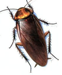 blog-browncockroach.jpg