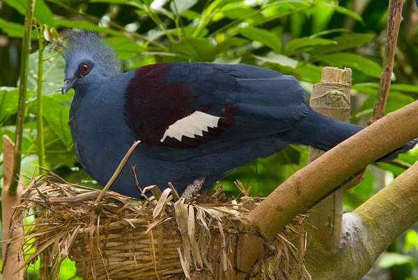 blog-2009-photography-DSC_3911-jbp-crowned-pigeon